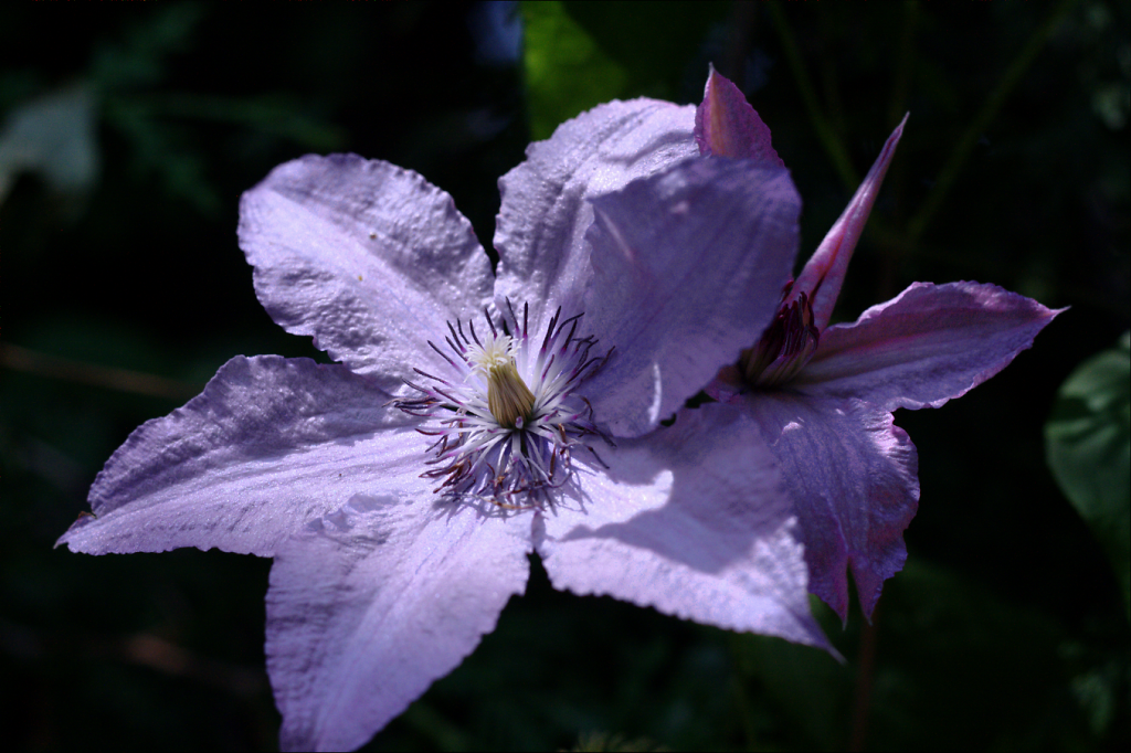 Clematis1.png