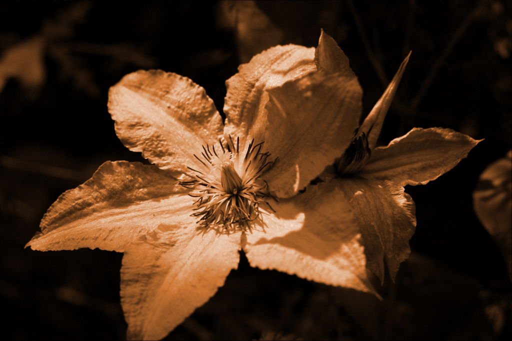 Clematis2.png